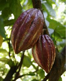 эквивалент масла какао идентичен по свойствам натуральным какао бобам